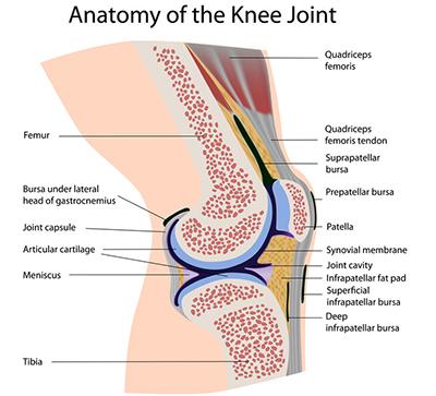 Knee Anatomy Knee Surgery Cape Town Dr Richard Von Bormann